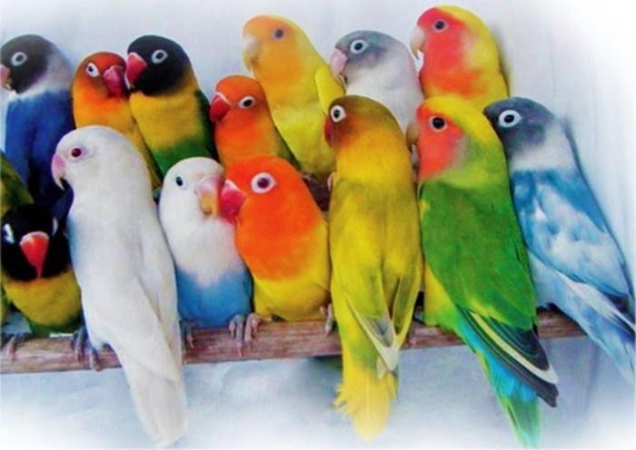 Contoh lovebird
